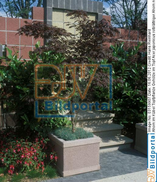 details zu 0003159907 ahorn im k bel topfpflanze. Black Bedroom Furniture Sets. Home Design Ideas