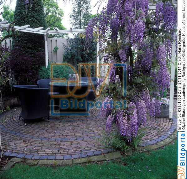 details zu 0003151650 glyzine blauregen laubengang rankger st djv bildportal. Black Bedroom Furniture Sets. Home Design Ideas