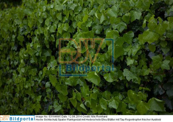 Details Zu 0003184895 Hecke Sichtschutz Spalier Rankgerust Mit