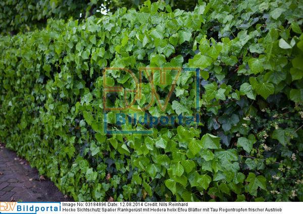 Details Zu 0003184896 Hecke Sichtschutz Spalier Rankgerust Mit