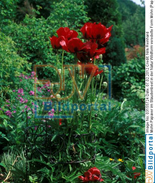 details zu 0003155724 mohn papaver im staudenbeet in der natur wildform veredelte form djv. Black Bedroom Furniture Sets. Home Design Ideas