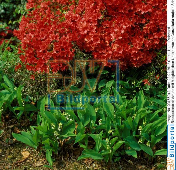 details zu 0003155948 rhododendron azalee mit. Black Bedroom Furniture Sets. Home Design Ideas