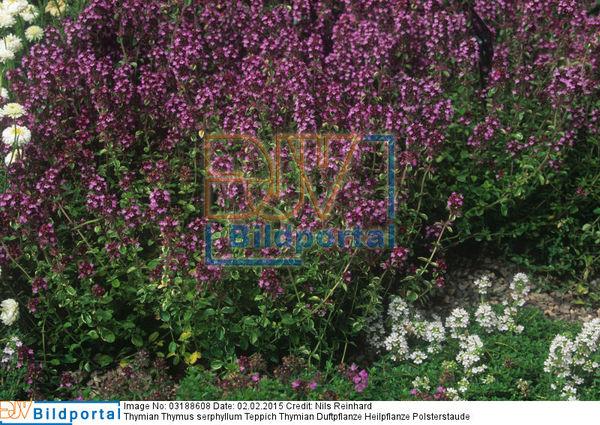 Details zu #0003188608  Thymian Thymus serphyllum Teppich